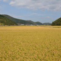 Namhae rice